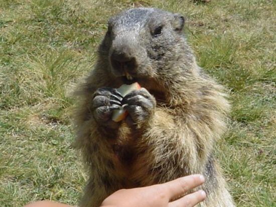 Marmotte de Prapic